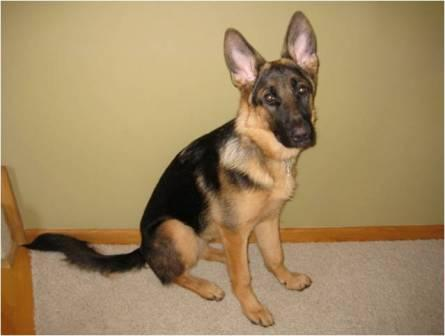 Millie - German Shepherd Dog