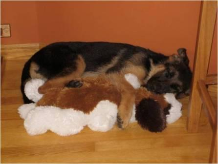 Tedie German Shepherd Dog