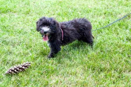 Soft-Coated Wheaton - poodle cross