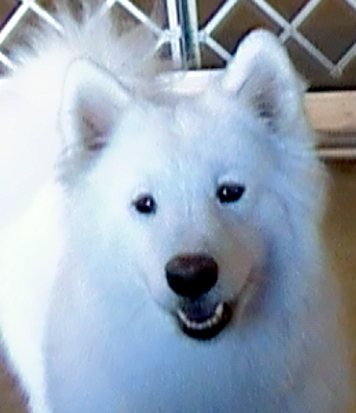 Stella - Samoyed Dog