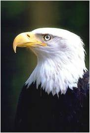 Bald Eagle Profile