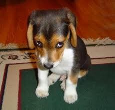 Shy Beagle