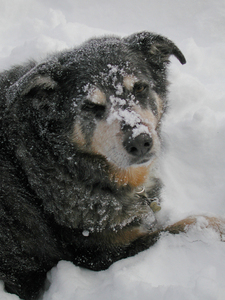 Dog with snow on face