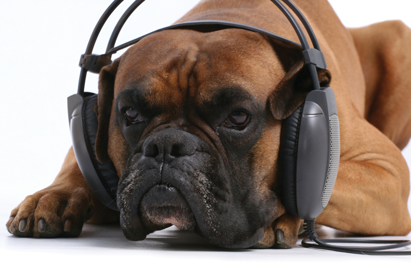 Mastiff with head phones