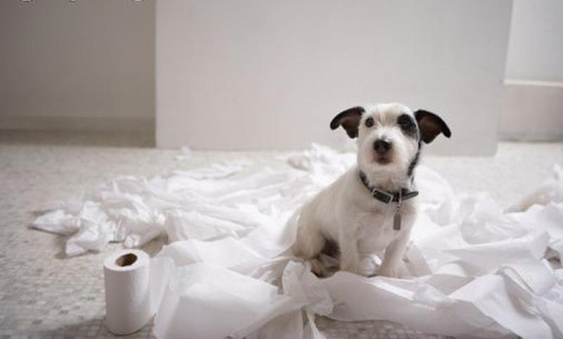Jack Russel & toilet paper