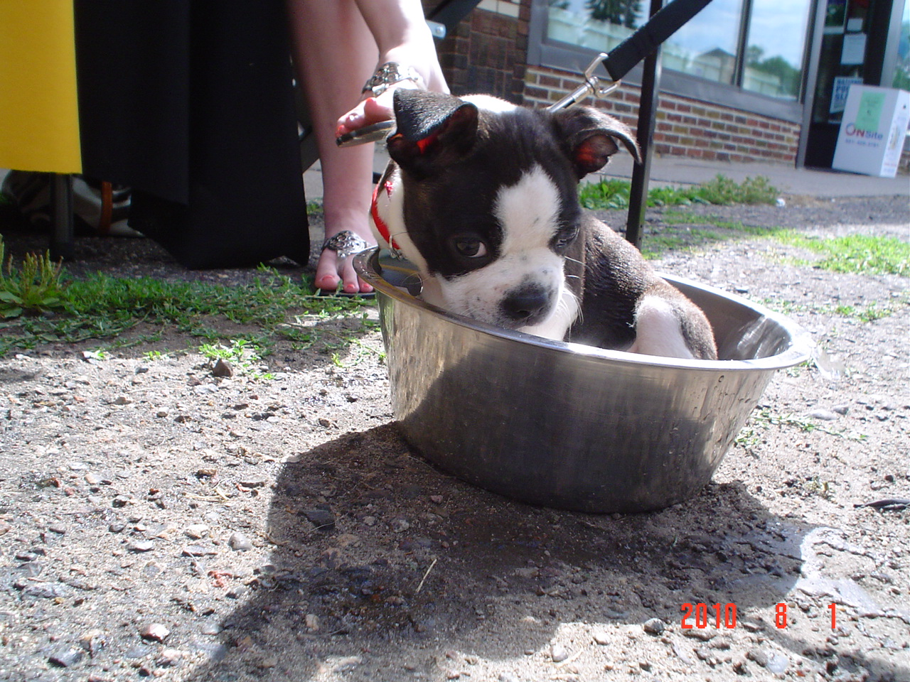 Boston Terrier Pup in a water dish