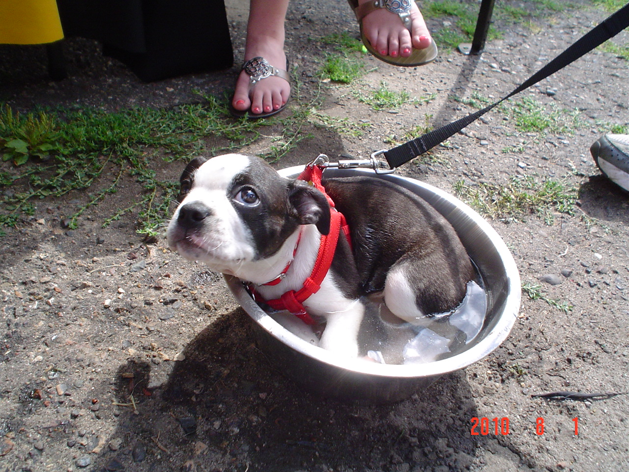 Boston Terrier in a water bowl