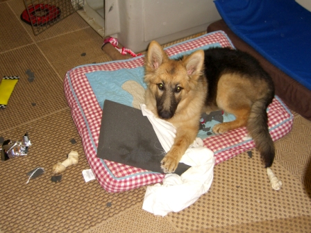 German Shepherd Dog with shredded Pillow