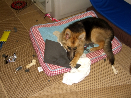 German Shepherd dog lying on chewed cushion