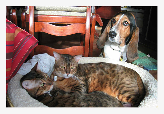 L-R: Percy, Huxley (Bengal cats) and Copper (Bassett Hound)