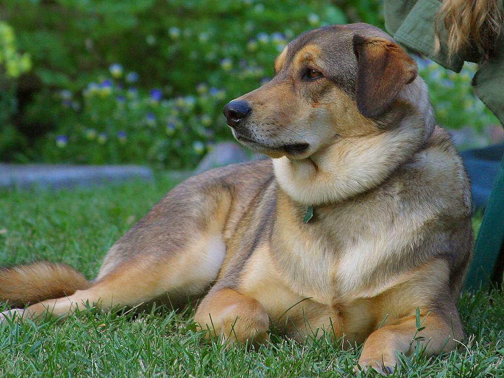 Mit  Liebe German  Shepard Dog Rescue