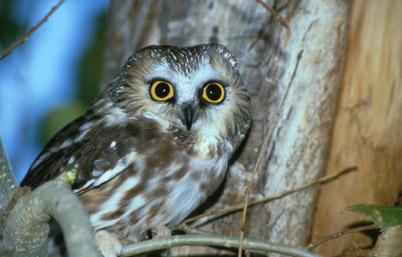 Owl: US Fish & Wildlife Services
